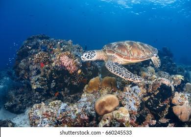 Wide angle photo of a green sea turtle swim over corals reef in Sipadan island, Sabah, Malaysia.