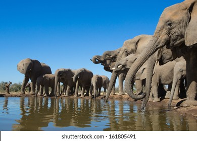 A wide angle photo of a herd of African elephants standing in a row and drinking from a small waterhole in Botswana