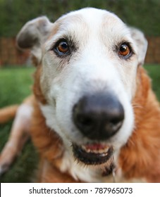 wide angle photo of a senior dog laying in the grass in a backyard smiling at the camera