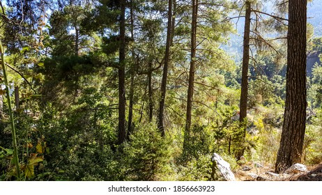 Wide angle pine forest landscape in autumn at Tahtali Mountain in Antalya.