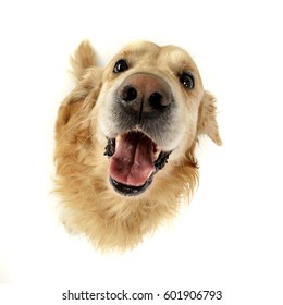 Wide angle portrait of an adorable Golden retriever - studio shot, isolated on white.