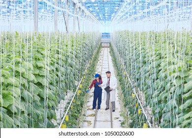 Wide angle portrait of chief supervisor talking to female worker while checking plants in greenhouse of modern vegetable plantation