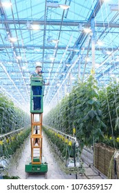 Wide angle portrait of two workers on plantation inspecting vegetable plants standing on mechanic ladder in greenhouse of modern farm, copy space