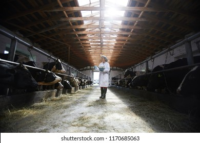 Wide angle portrait of young female veterinarian examining cows while working in cowshed of modern dairy farm, copy space