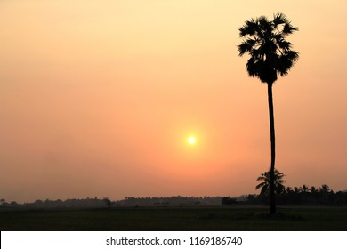 Wide angle of the rice field in the evening sunshine with shadow of the Palmyra Palm, Lontar or Fan Palm.