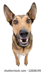 Wide angle shot of a Belgian Malinois, with excitement in his eyes.
