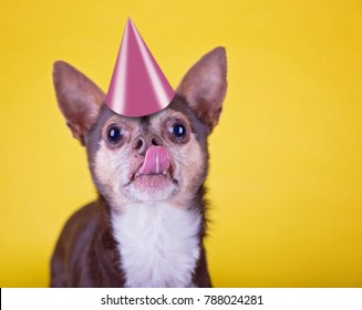 wide angle shot of a cute chihuahua licking his nose wearing a pink birtday party on an isolated yellow background