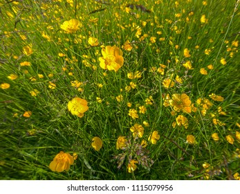 A wide angle shot of English buttercups in a Herefordhshire meadow, UK
