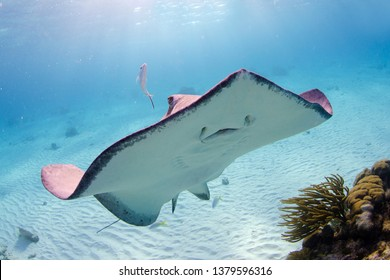 A wide angle shot of a smiling stingray swimming towards and over the underwater camera at the Sandbar, Stingray City, Grand Cayman.