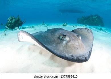 A wide angle shot of a stingray swimming towards the underwater camera at the Sandbar, Stingray City, Grand Cayman.
