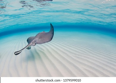 A wide angle shot of a stingray swimming away from the underwater camera at the Sandbar, Stingray City, Grand Cayman.