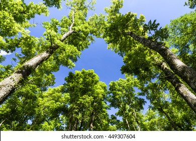 Wide angle shot of tall trees in a forest, mahogany.