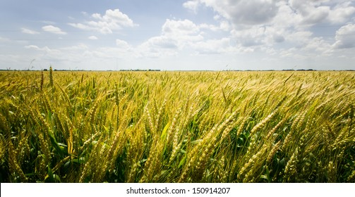 Wide angle shot of a wheat field in Clarksdale Mississippi with blue sky and clouds.