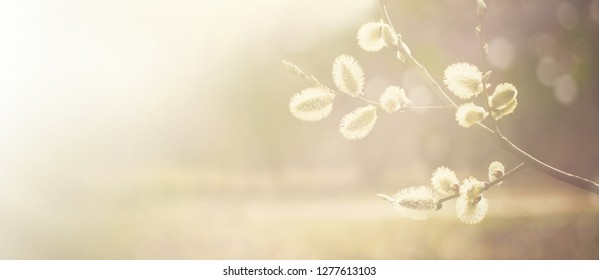 Wide Angle Spring nature background Blossoming Willow branches close up in the sunlight. Beautiful Soft Wallpaper or Web banner With Copy Space for text