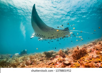 Wide angle underwater shot of a manta ray swimming over a scuba diver. Scuba diver is on the ocean floor and the manta is passing overhead. Hundreds of small fish are behind the manta over the coral
