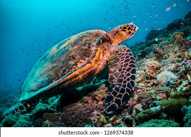Wide angle underwater shot of a very large hawksbill sea turtle resting on a coral slope. Sitting diagonally across the frame with hundreds of small tropical  reef fish in the background