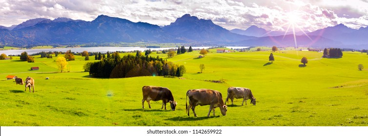 wide angle view to alps mountain range nearby lake Forggensee in region Allgaeu in Bavaria with herd of cows on meadow