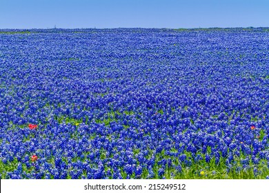 A Wide Angle View of a Beautiful Field Blanketed with the Famous Texas Bluebonnet (Lupinus texensis) Wildflowers.