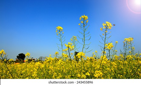 Wide angle view of a beautiful field of bright yellow canola or rapeseed in front of a village.