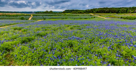 A Wide Angle View of a Beautiful Field or Meadow Blanketed with the Famous Texas Bluebonnet (Lupinus texensis) Wildflowers.  An Amazing Display on a Cloudy Moring at Muleshoe Bend in Texas.