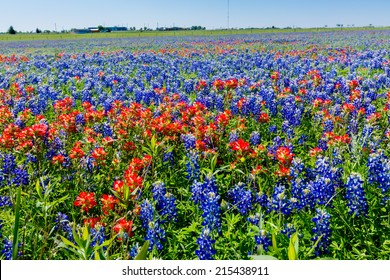 A Wide Angle View of a Beautiful Texas Field Blanketed with the Famous Texas Bluebonnet (Lupinus texensis) Wildflowers.