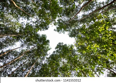 wide angle view from below of an eucalyptus forest