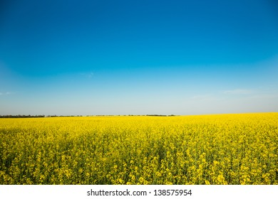 Wide angle view of a bright yellow blossoming canola under a deep clear blue sky