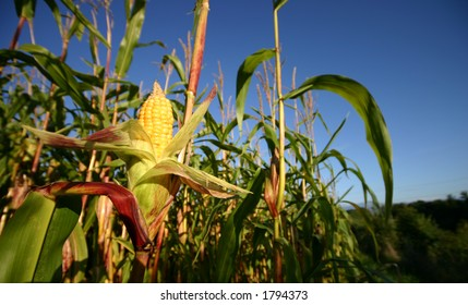 Wide angle view of a corn crop at a field boundary