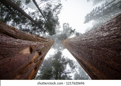 Wide angle view looking up at giant Sequoia trees in Sequoia National Park California