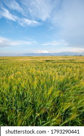 Wide angle view of a maturing barley field in rural Alberta.