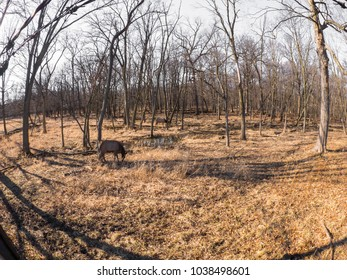 Wide angle view of two adult female elk deer with brown fur in the Busse Forest Preserve elk pasture with tall yellow grasses and trees in background in Elk Grove Village in Illinois.