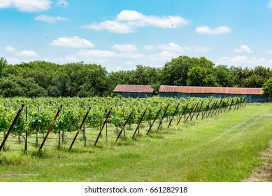 Wide angle view of the vineyard with metal sheds in the background