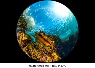 A wide circular fisheye perspective of a classic California kelp forest showing the canopy, blue water and reef structure.