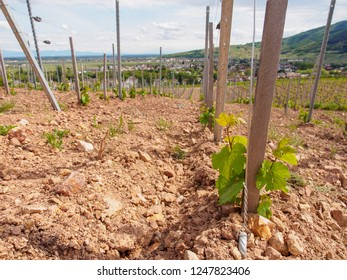 Wide closeup of grape seedlings planted in the loose, dry, mountain soil on the slopes near Turckheim, France, on a cloudy day. Agriculture and winemaking industry.