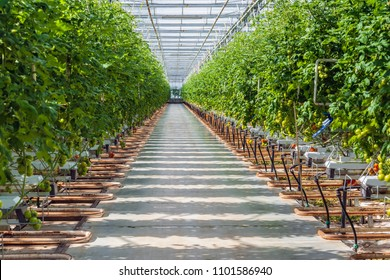 Wide corridor in a large Dutch greenhouse with tomato cultivation on hydroponics. Tomatoes are an important export product for Dutch growers.