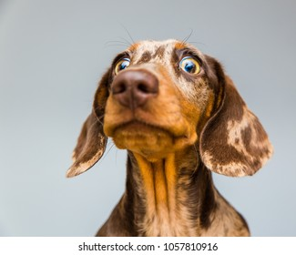 Wide eyed double dapple Dachshund puppy looks intimidated and surprised
