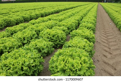 wide field of green romaine lettuce in summer