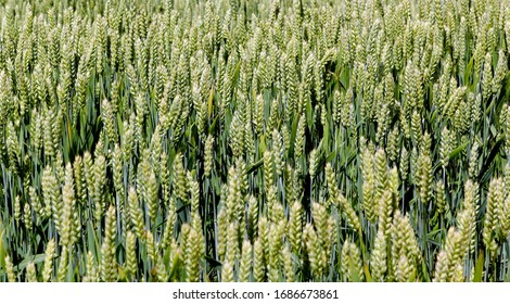 Wide frame isolated closeup of Triticale, a crop hybrid of wheat and rye. Shot from a low angle, the vibrant green grass-like tips of the crop serve as a focal point set against a pale blue sky.