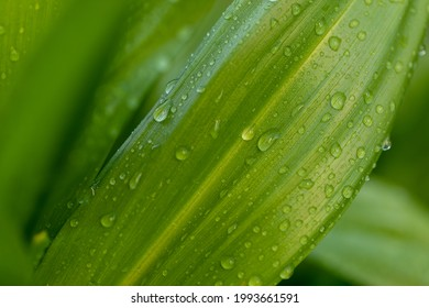 Wide green leaves with raindrops on a green blurred natural background. Green leaves with raindrops.