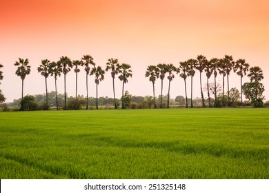 Wide green rice farm and sugar palm tree under orange sky before sunset