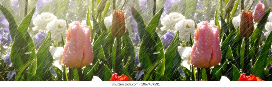 Wide image of modern spring park scene with rain over beautiful tulips in luxury garden - watering flowers with artificial or natural rain with the use of a electronic controlled sprinkler.
