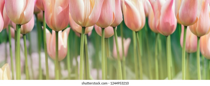 Wide landscape with rose tulips on soft green background in pastel colors, bottom view. Spring flowers for your banner in floral style, decor in floristry shop or billboard template on tulip festival.