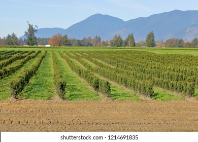 Wide, landscape view of a cedar tree farm and the many rows of young saplings that will eventually be sold commercially.