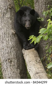 Wide Load.  Large black bear (Ursus Amricanus) squeezes through a narrow gap between two trees to walk across a fallen tree.