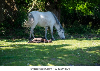 wide new born foal resting on grss in the sun  by his mother who is feeding nearby  white pony has a reflective collar