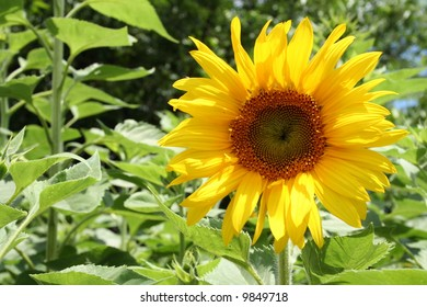Wide open sunflower in bright daylight