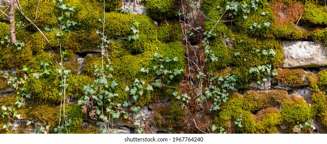 Wide panorama of a old natural stone wall covered with green and brown moss and ivy for natural background