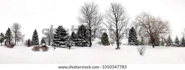 wide-panorama-view-row-evergreens-600w-1