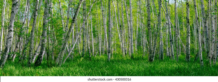 Wide panoramic beautiful summer landscape with forest and green grass. Birch forest. Birch Grove. White birch trunks. Spring sunny forest.