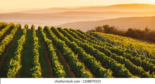 Wide panoramic shot of a green summer vineyard at sunset
